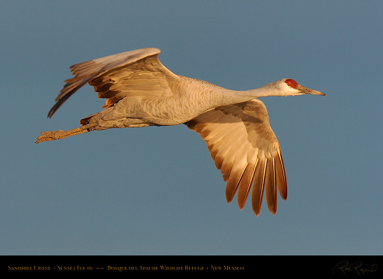 SandhillCrane_SunsetFly-in_6918
