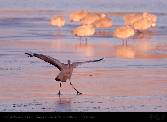 SandhillCrane_Take_a_Bow_HS0443