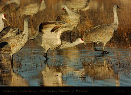 SandhillCrane_MorningDisplay_3330