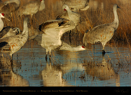 SandhillCrane_MorningDisplay_3332