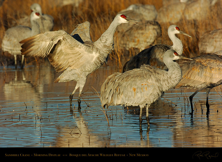 SandhillCrane_MorningDisplay_3346