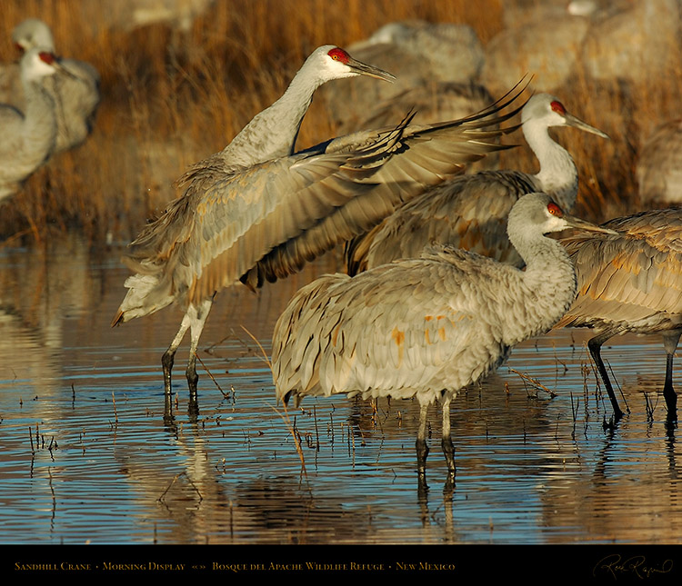 SandhillCrane_MorningDisplay_3347M