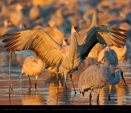 SandhillCrane_SunriseCourtshipDisplay_6671M