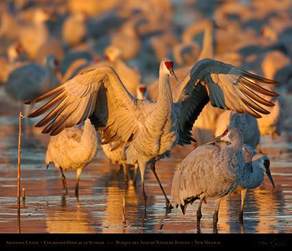 SandhillCrane_SunriseCourtshipDisplay_6672M