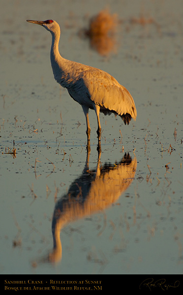 SandhillCrane_SunsetReflection_X4065