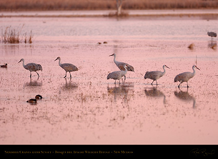 SandhillCranes_AfterSunset_HS0984