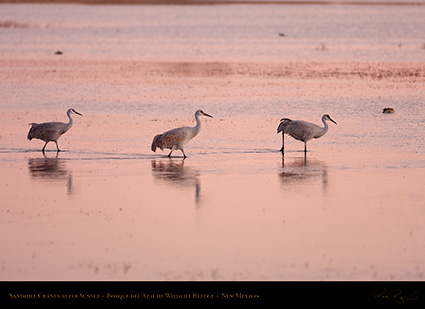 SandhillCranes_AfterSunset_HS0991