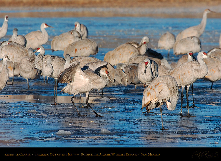 SandhillCranes_BreakingOut_of_theIce_2772