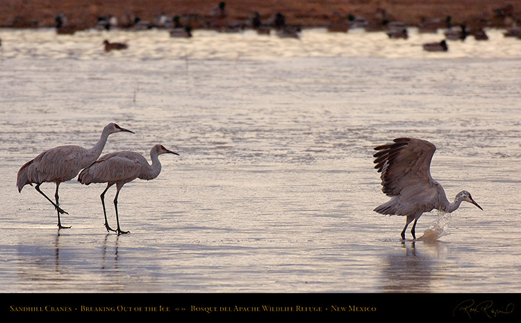 SandhillCranes_BreakingOut_of_theIce_X3540
