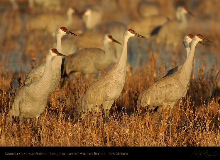 SandhillCranes_Sunset_5814