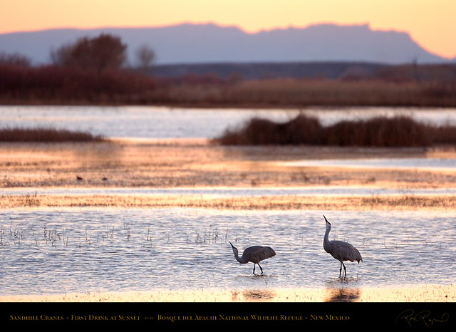 Sandhill_Cranes_Sunset_Drink_HS0942