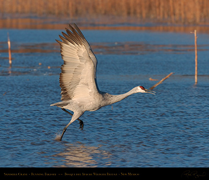 SandhillCrane_MorningFlyout_4757M