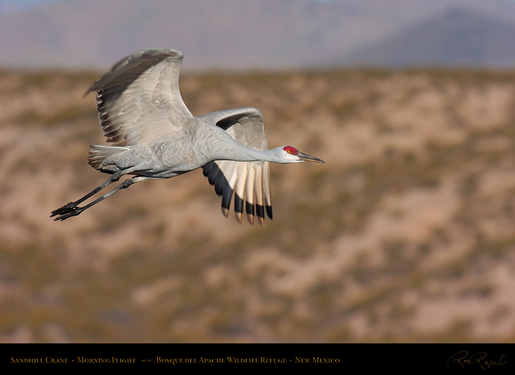 SandhillCrane_MorningFlight_1811