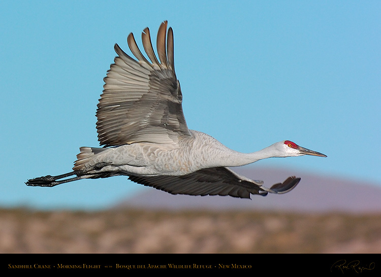 SandhillCrane_MorningFlight_1815