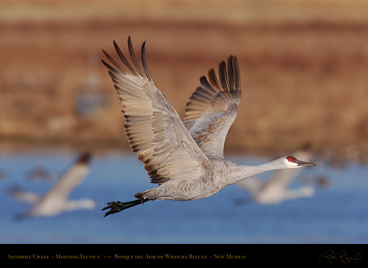 SandhillCrane_MorningFlyout_HS0729
