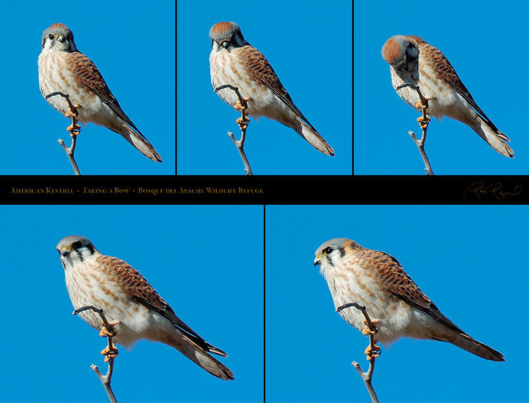AmericanKestrel_Taking_aBow_M