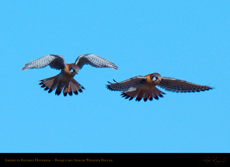 Kestrel_Hovering_X9035_41