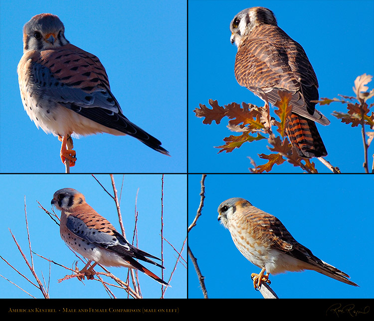 Kestrel_Male_Female_Comparison_M