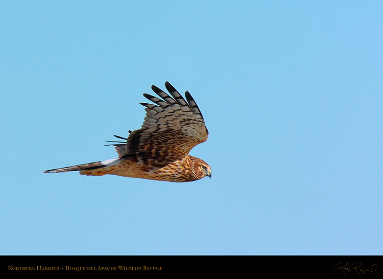 NorthernHarrier_2485