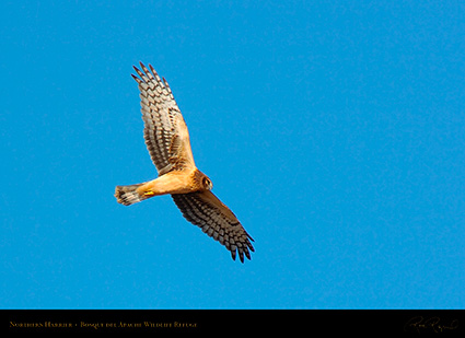 NorthernHarrier_2592