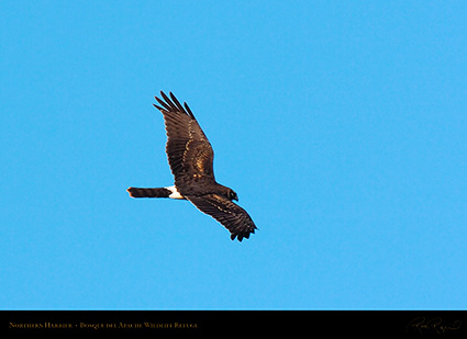 NorthernHarrier_2626