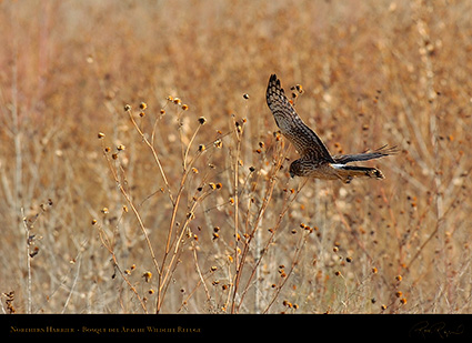 NorthernHarrier_4129