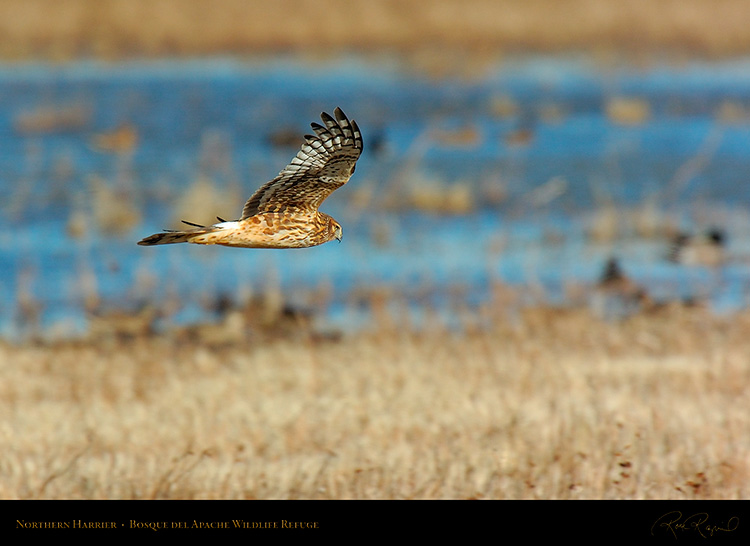 NorthernHarrier_4131