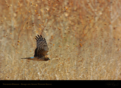 NorthernHarrier_4134
