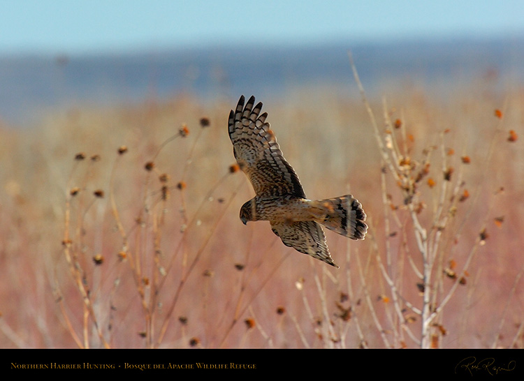 NorthernHarrier_4136