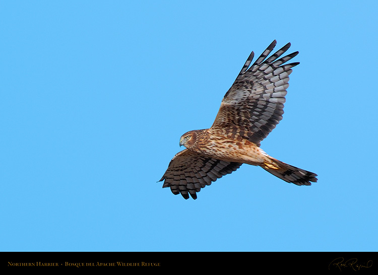 NorthernHarrier_5139