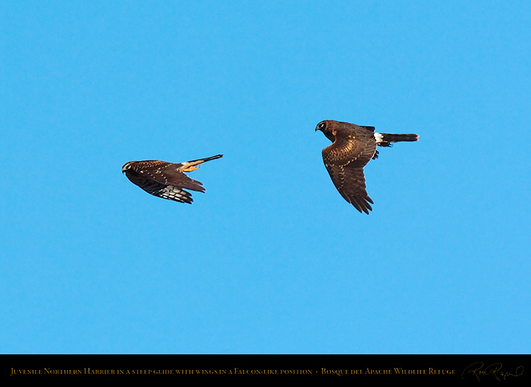 NorthernHarrier_FalconGlide_2630-31