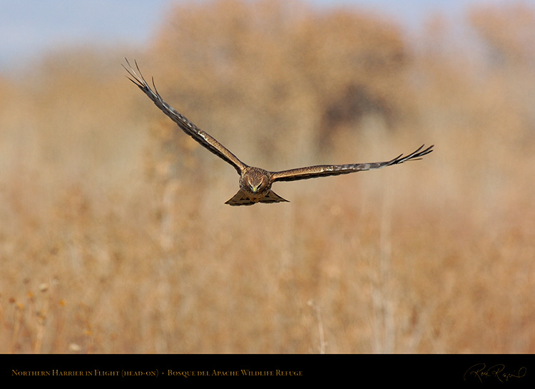 NorthernHarrier_Head-on_5138