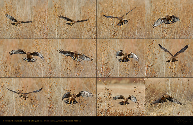 NorthernHarrier_HuntingSequence_XXL