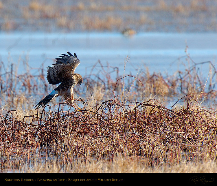 NorthernHarrier_Pounce_X8984M