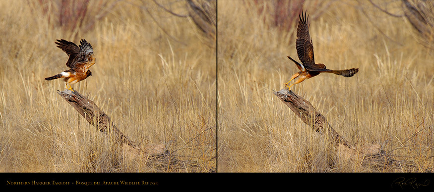 NorthernHarrier_Takeoff_X3752-53XL