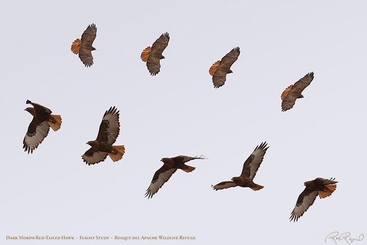DarkMorph_Red-Tail_FlightStudy_XXL