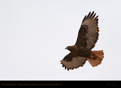 DarkMorph_Red-Tailed_Hawk_5566