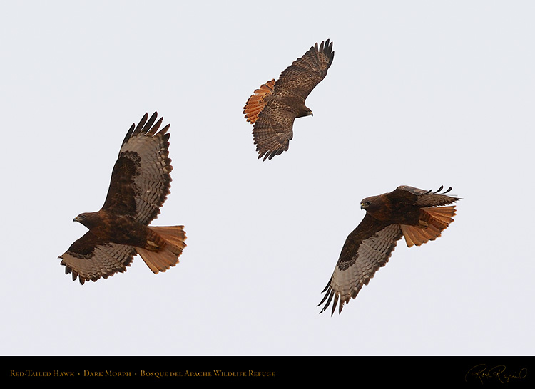 DarkMorph_Red-Tailed_Hawk_XL