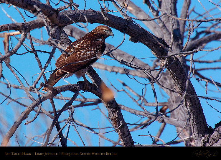 LightJuvenile_Red-Tail_1892