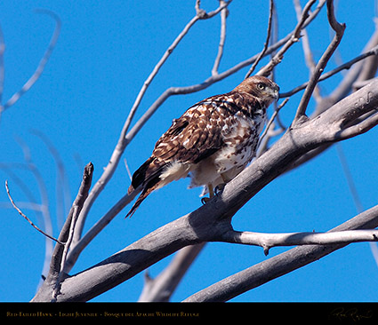 LightJuvenile_Red-Tail_HS0882M
