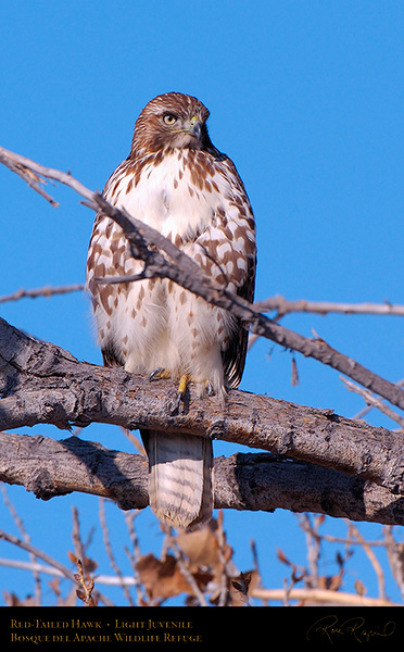 LightJuvenile_Red-Tail_X3701