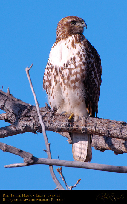 LightJuvenile_Red-Tail_X3724