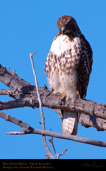 LightJuvenile_Red-Tail_X3748