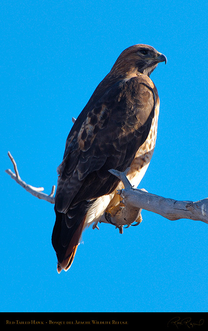 Red-Tailed_Hawk_X9073M