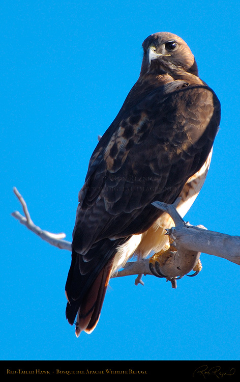 Red-Tailed_Hawk_X9082M