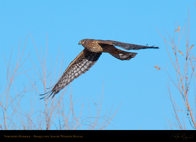 NorthernHarrier_X9088