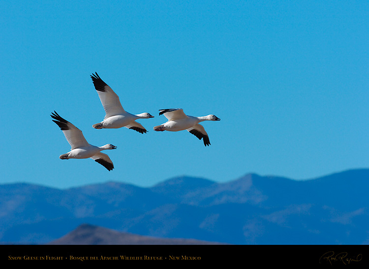 SnowGeese_inFlight_2190