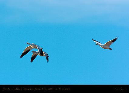 SnowGeese_inFlight_2962