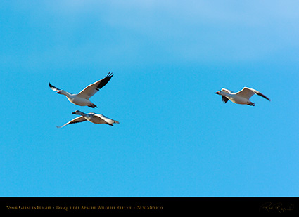 SnowGeese_inFlight_2963