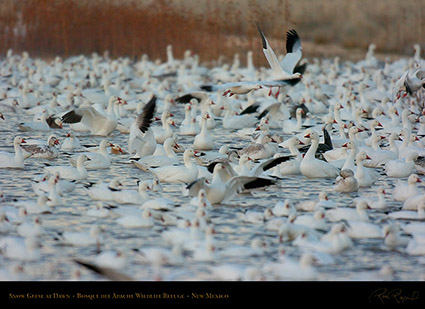 SnowGeese_atDawn_4353